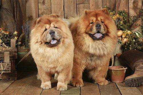 Чау-чау – самая древняя порода собак